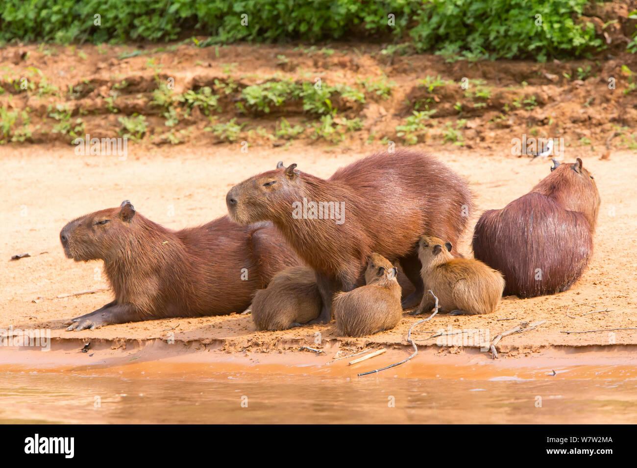 Capybara (Hydrochaeris hydrochaeris) family at water's edge, Pantanal, Brazil. Stock Photo