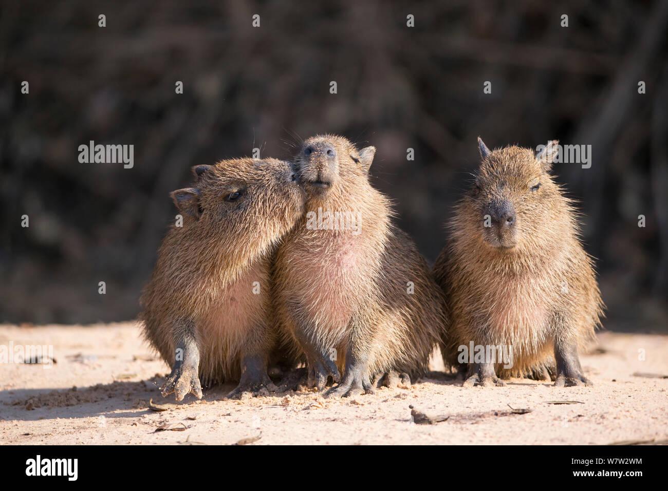 Capybara (Hydrochaeris hydrochaeris) babies Pantanal, Brazil. Stock Photo
