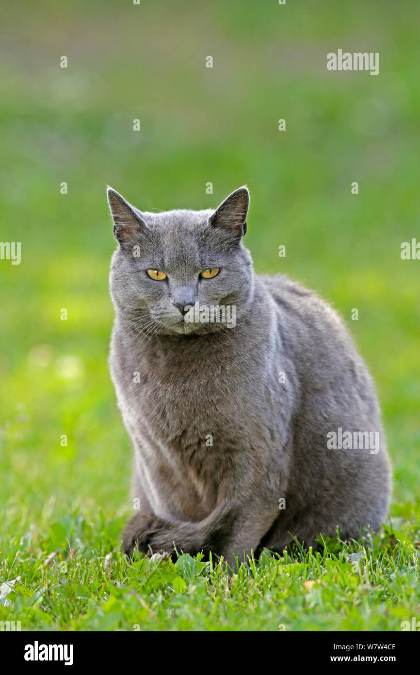 Russian Blue Cats Stock Photos & Russian Blue Cats Stock