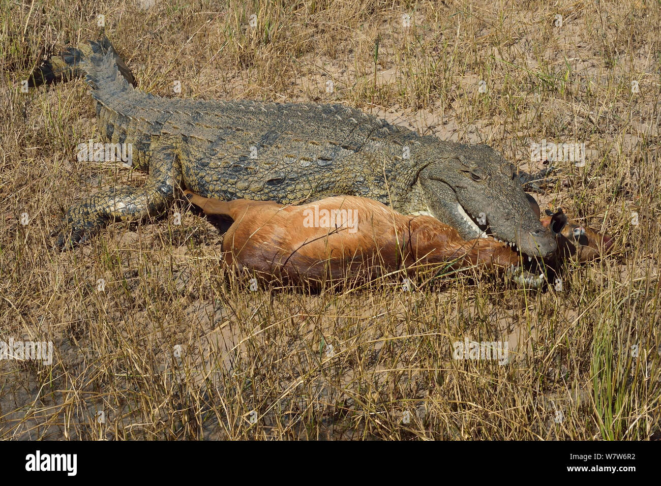 Nile crocodile (Crocodylus niloticus) with mouth clasped round young Impala (Aepyceros melampus) ram for more than 2 hours after taking it, Chobe River, Botswana, May. Stock Photo