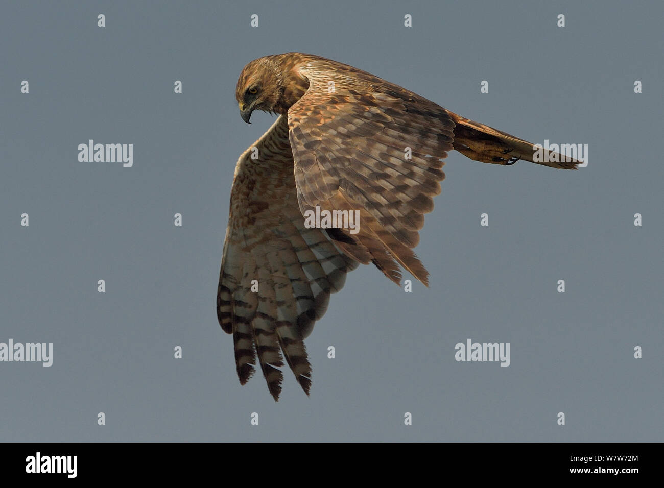 African marsh harrier (Circus ranivorus) in flight, Chobe River, Botswana, August. Stock Photo