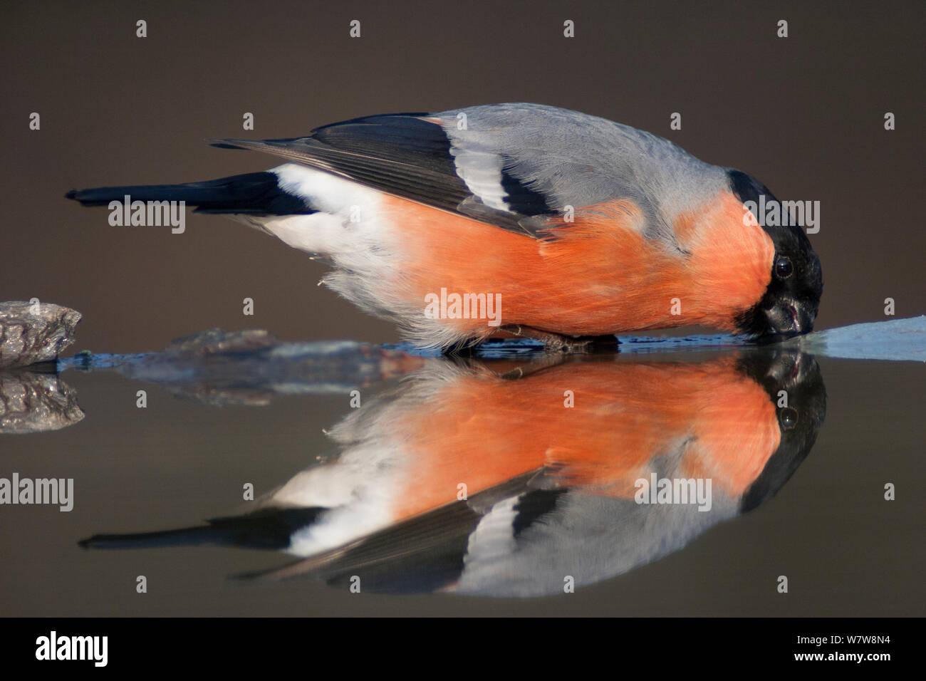 Eurasian bullfinch (Pyrrhula pyrrhula) drinking, reflected in water, Pusztaszer, Hungary, February. Stock Photo
