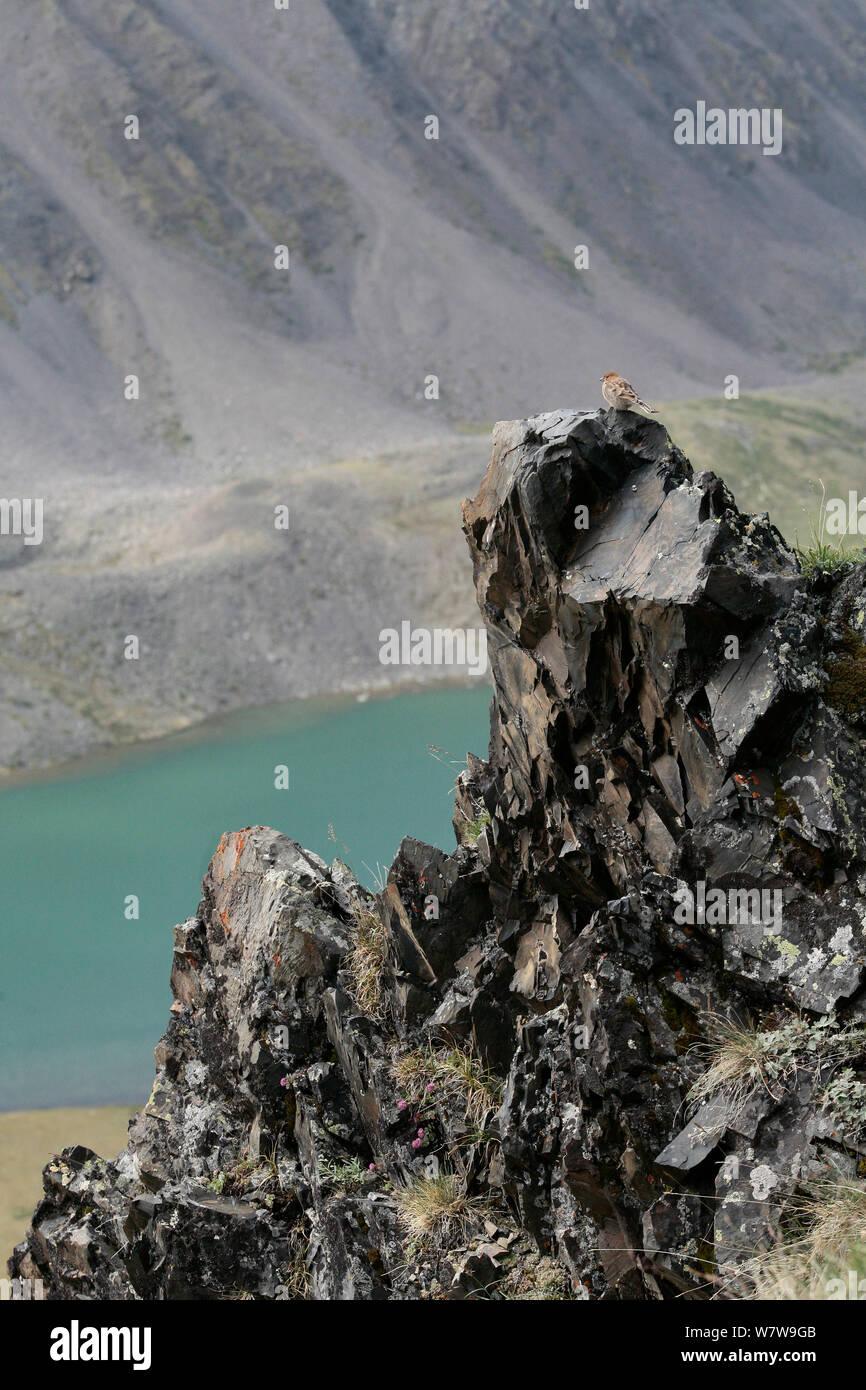 Plain Mountain finch (Leucosticte nemoricola) juvenile on rocks, Altai Mountains, Chuysky Range, Siberia, Russia, August. Stock Photo