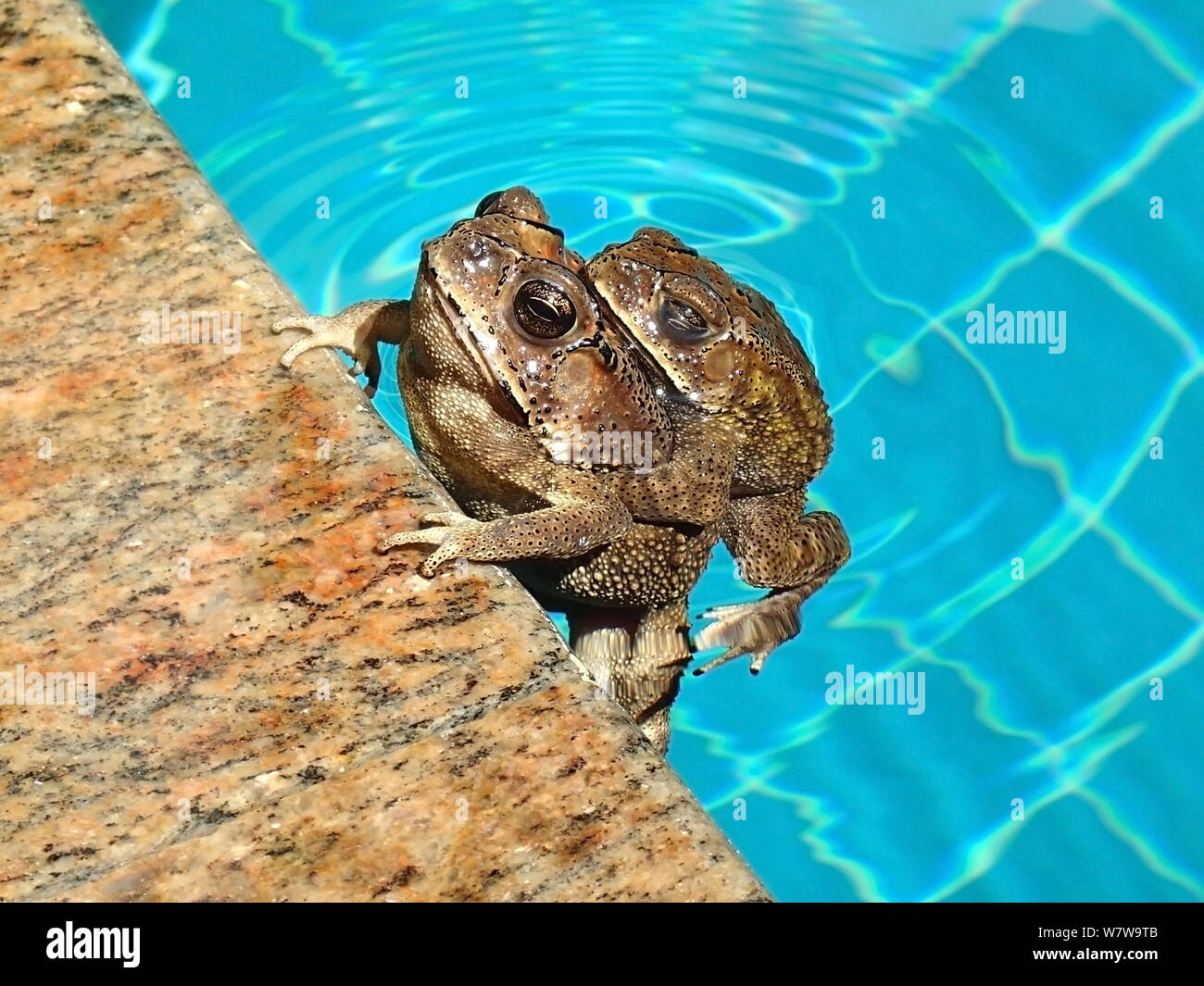 Common Toads Stock Photos & Common Toads Stock Images - Alamy