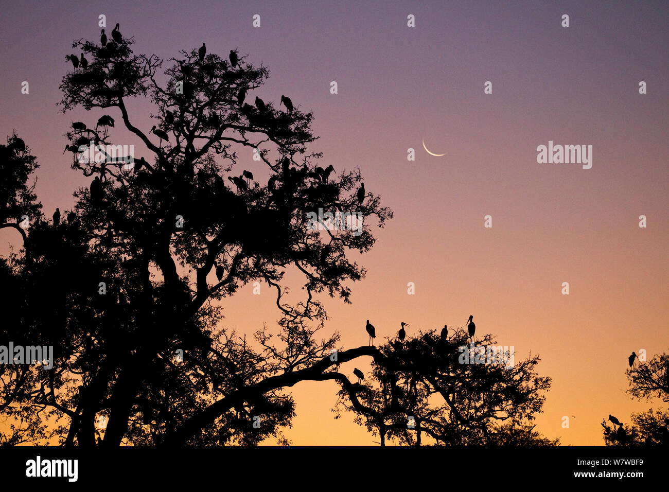 Yellow-billed stork (Mycteria ibis) colony silhouetted at dusk South Luangwa National Park, Zambia. May. Stock Photo
