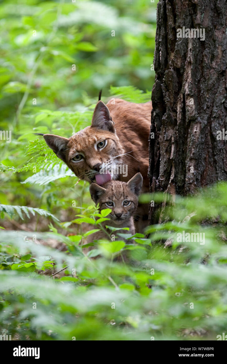Eurasian lynx (Lynx lynx) mother and cub peering round tree, with mother grooming cub, Black Forest, Baden-Wurttemberg, Germany. July.  Captive. Stock Photo
