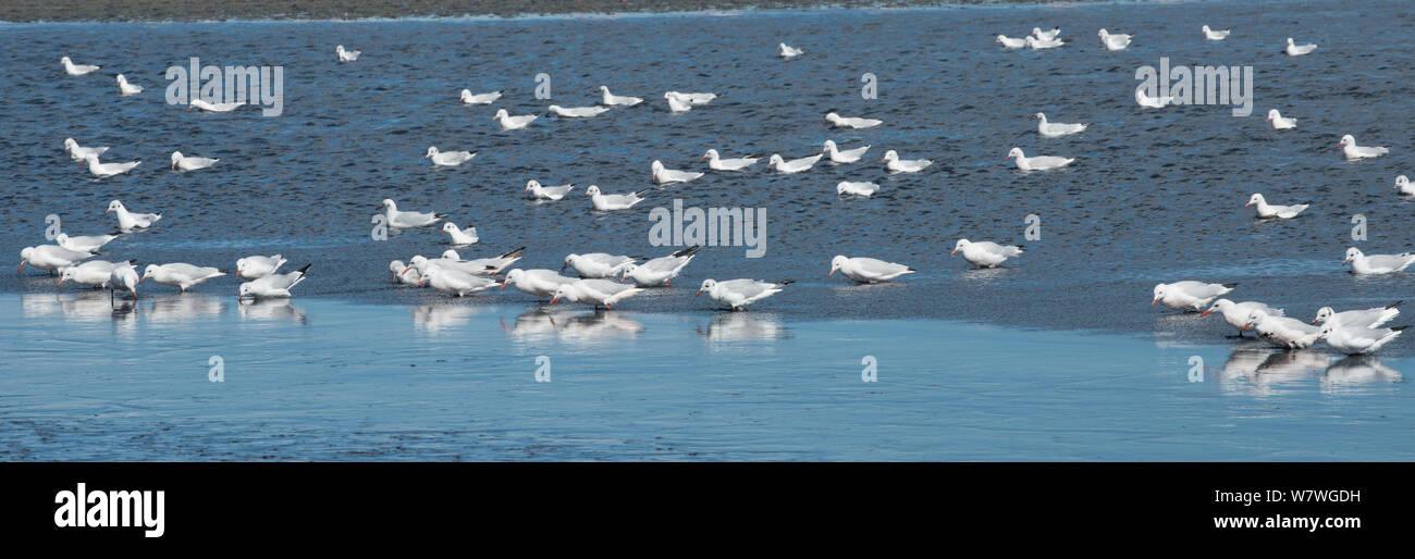 Slender bill gull (Larus genei) flock in the Salin de Giraud salt pans, Camargue, France, September. Stock Photo