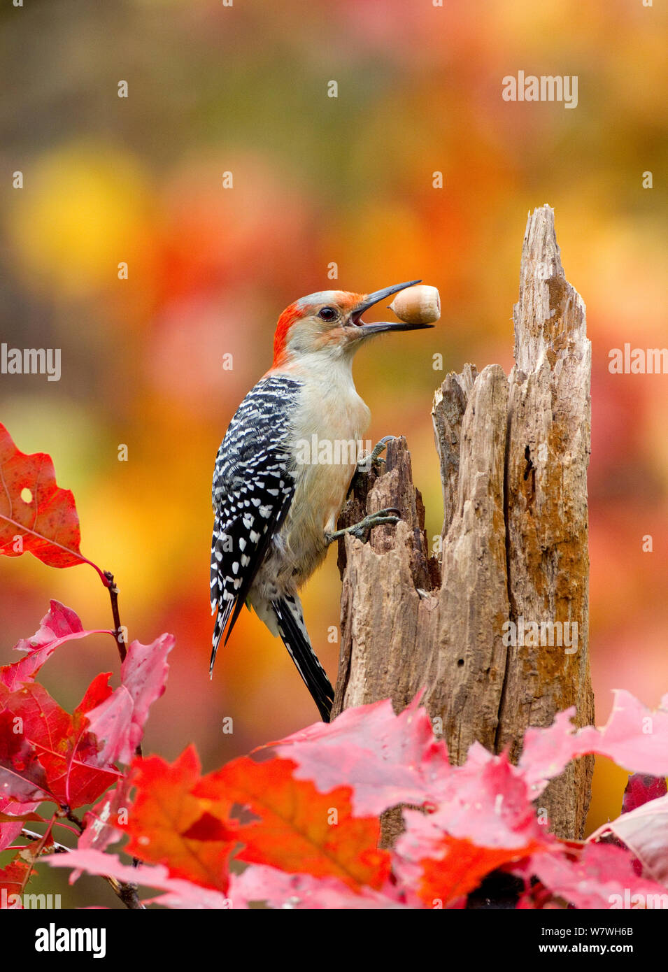 Female Red bellied woodpecker (Melanerpes carolinus) with acorn in beak, New York, USA, October. Stock Photo