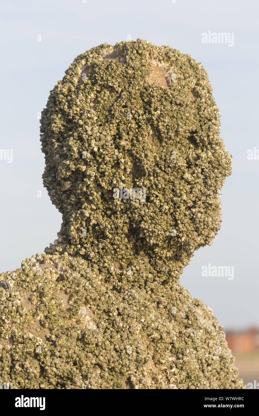 A figure from Antony Gormley's 'Another Place' installation covered in barnacles, including the invasive Austrominius modestus. Crosby, Merseyside, UK, April 2014. Stock Photo