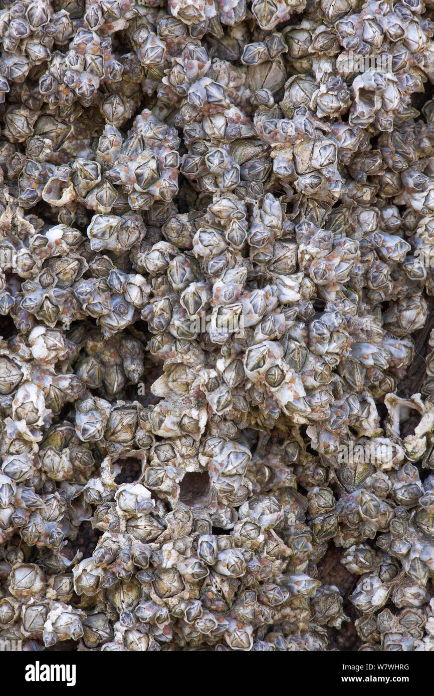 Invasive barnacles (Austrominius modestus) growing on a sculpture forming part of the installation 'Another Place' on the beach at Crosby, Merseyside, April. Stock Photo