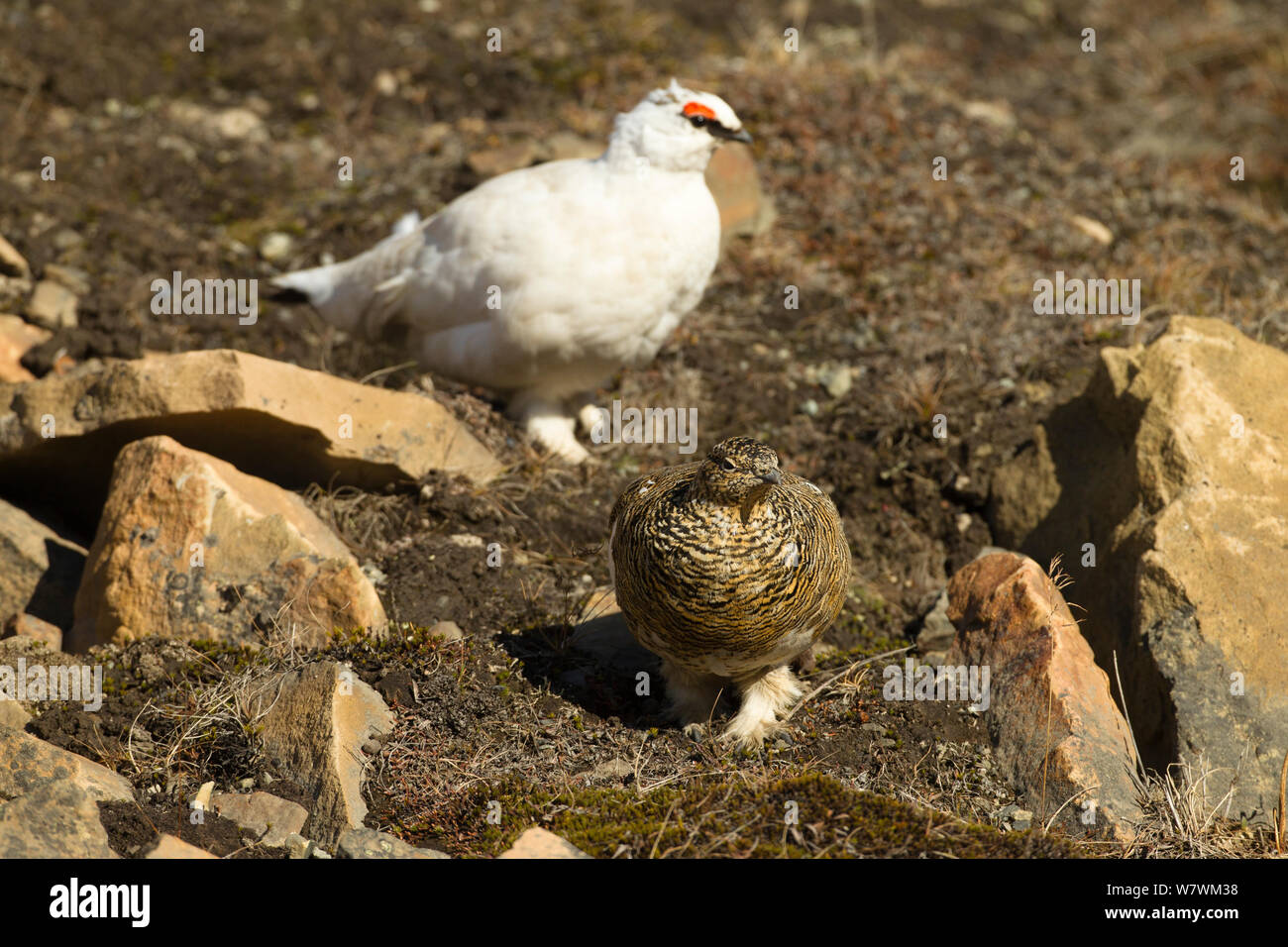 Rock ptarmigan (Lagopus muta) female in summer plumage and male in winter plumage, Longyearbyen, Spitsbergen, Svalbard, Norway. June. Stock Photo