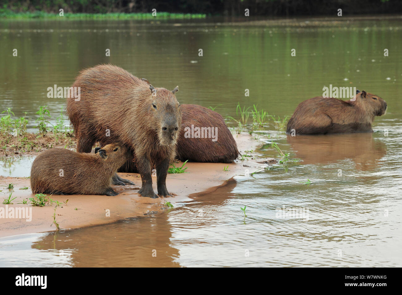 Family of Capybaras (Hydrochoerus hydrochaeris) in Cuiaba River, Pantanal of Mato Grosso, Mato Grosso State, Western Brazil. Stock Photo