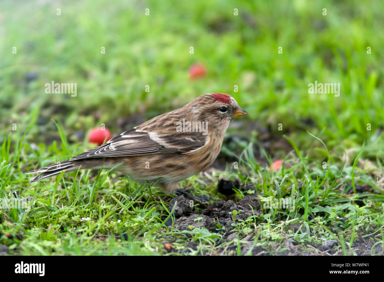 Immature Common redpoll (Carduelis flammea) feeding amongst short grass. Havelock North, Hawkes Bay, New Zealand, June. Introduced species in New Zealand. Stock Photo