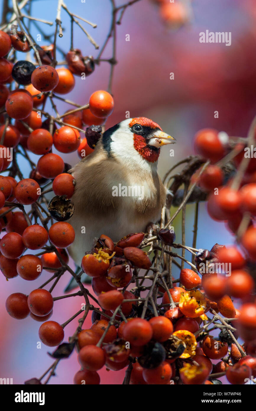 Adult male European goldfinch (Carduelis carduelis) feeding on berries in the canopy. Havelock North, Hawkes Bay, New Zealand, July. Introduced species in New Zealand. Stock Photo