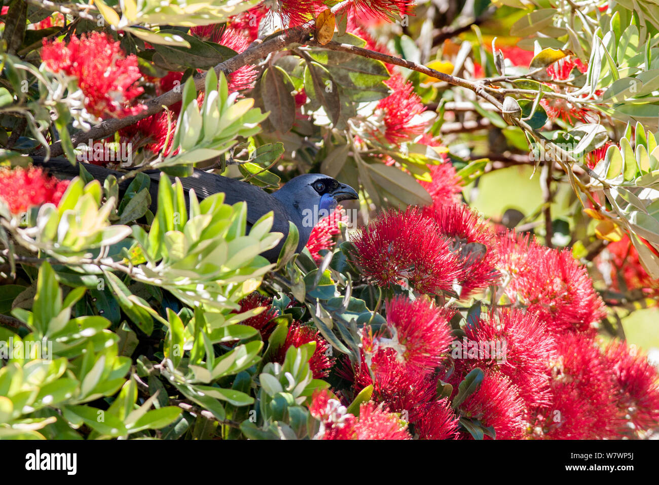 Adult kokako (Callaeas wilsoni) perched in a flowering Pohutukawa tree (Metrosideros excelsa) and feeding on nectar. Tiritiri Matangi Island, Auckland, New Zealand, December. Endangered species. Stock Photo