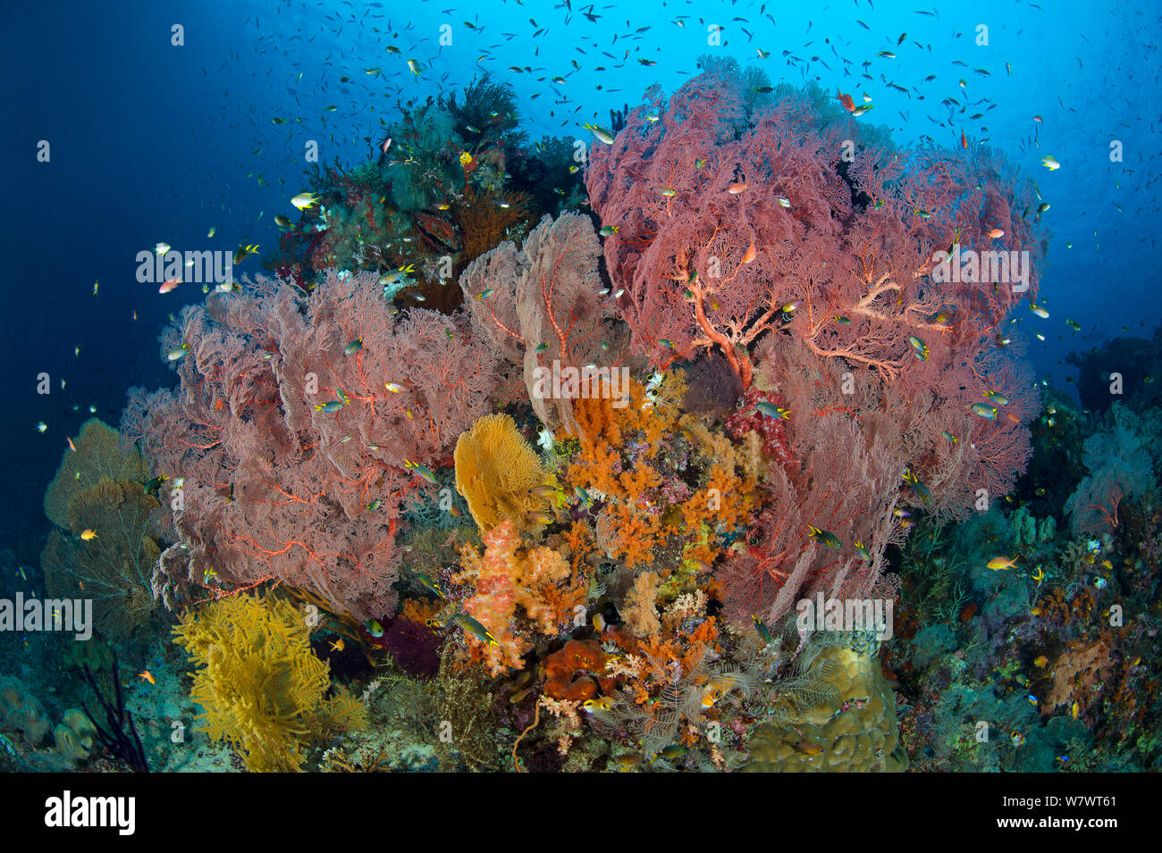 Thriving reef scene, with Seafans (Melithaea sp.) and reef fish. Boo West, Misool, Raja Ampat, West Papua, Indonesia. Ceram Sea. Stock Photo
