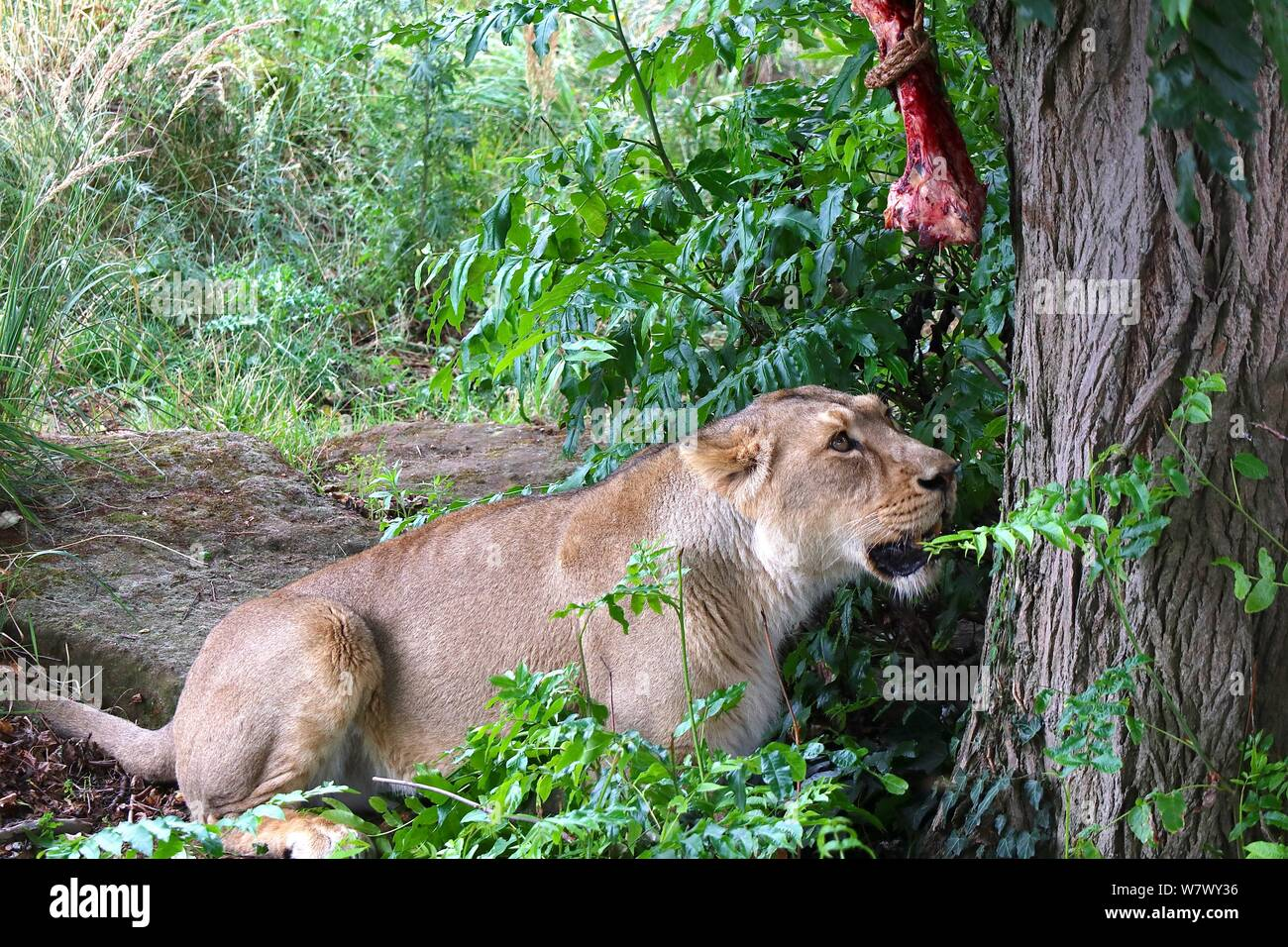 World Lion Day is 10 August 2019 Zoo's Asiatic Lions mark World lion Day . ZSL London Zoo's big cats given giant seesaw to celebrate World Lion Day 2019 . London Zoo ,London UK Stock Photo