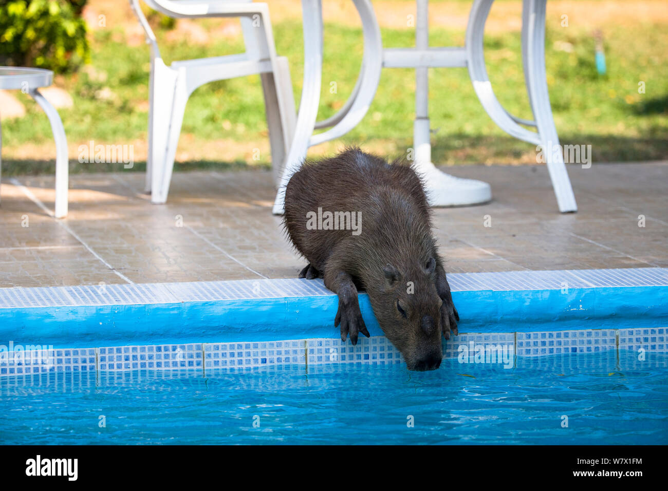 Capybara (Hydrochoerus hydrochaeris) drinking water from a swimming pool. Hato El Cedral, Llanos, Venezuela. Stock Photo