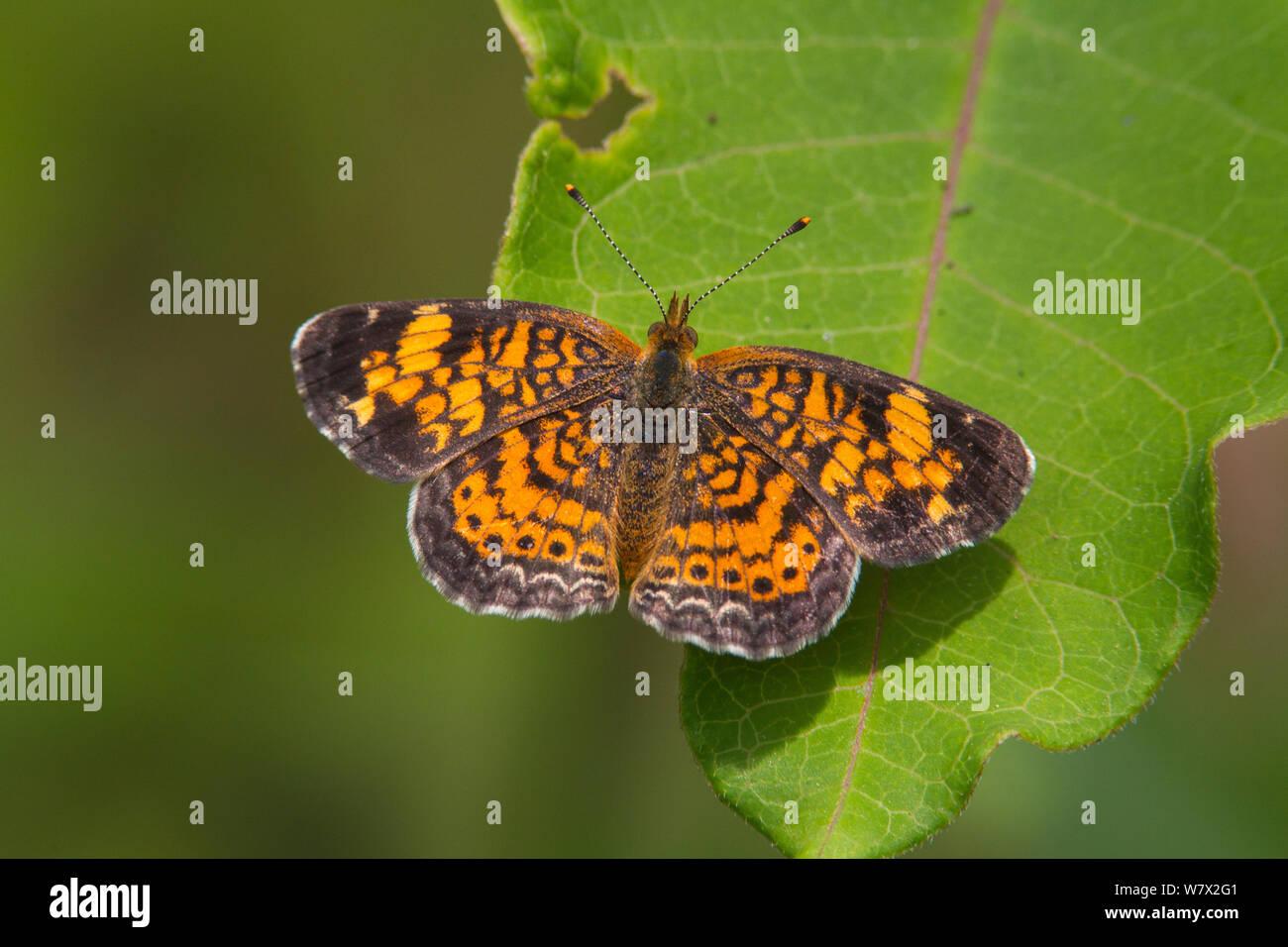Pearl Crescent (Phyciodes tharos) Sabine Natiional Forest, Hemphill, Sabine County, Texas, USA. Stock Photo