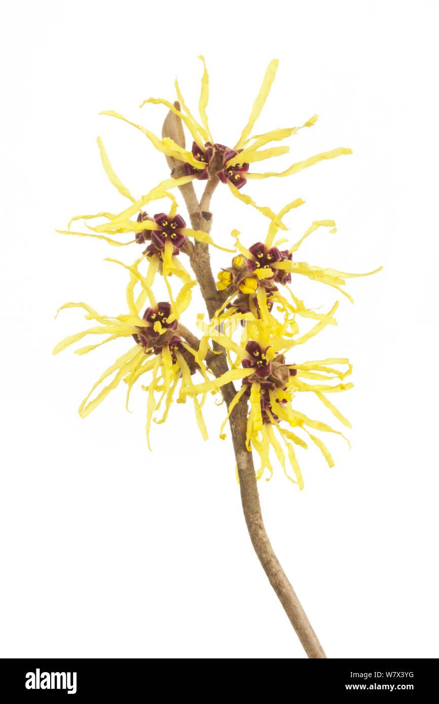 Witch hazel (Hamamelis) flowers, studio shot with white background. Stock Photo