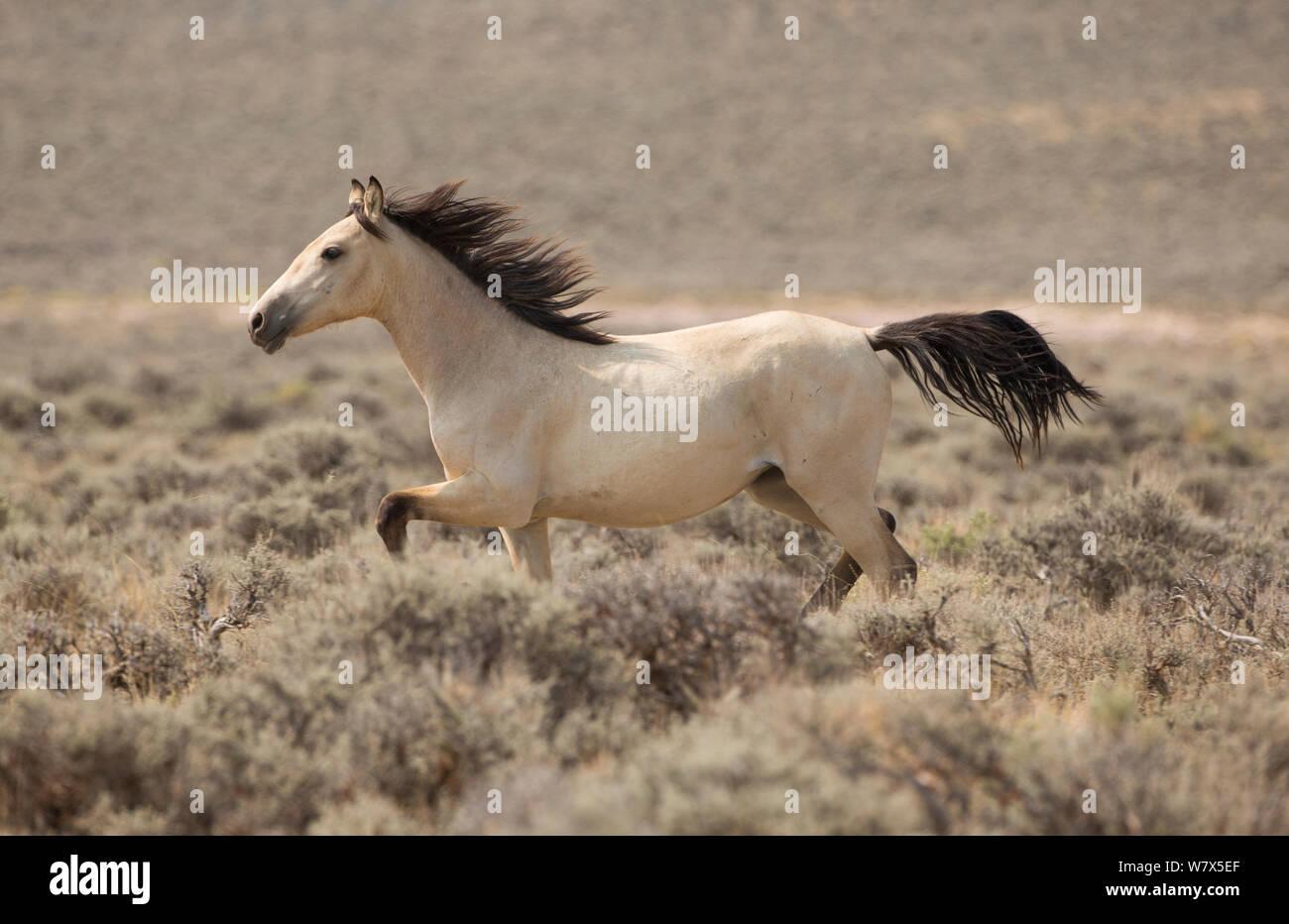 Wild Mustang Dun Horse Running Near Adobe Town Wyoming Usa Stock Photo Alamy