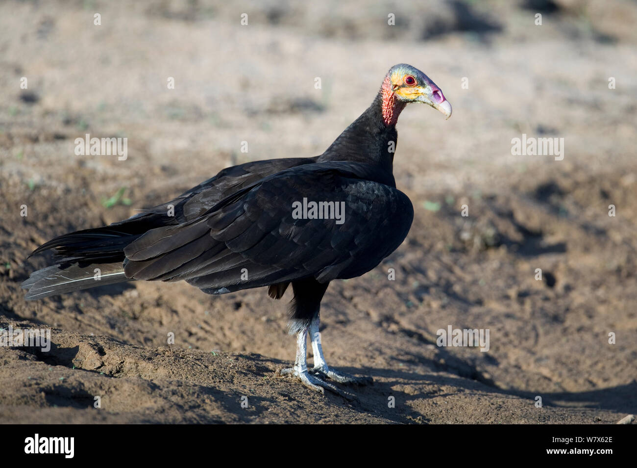 Lesser Yellow-headed Vulture (Cathartes burrovianus)  perched on a river bank, Mato Grosso, Pantanal, Brazil.  August. Stock Photo