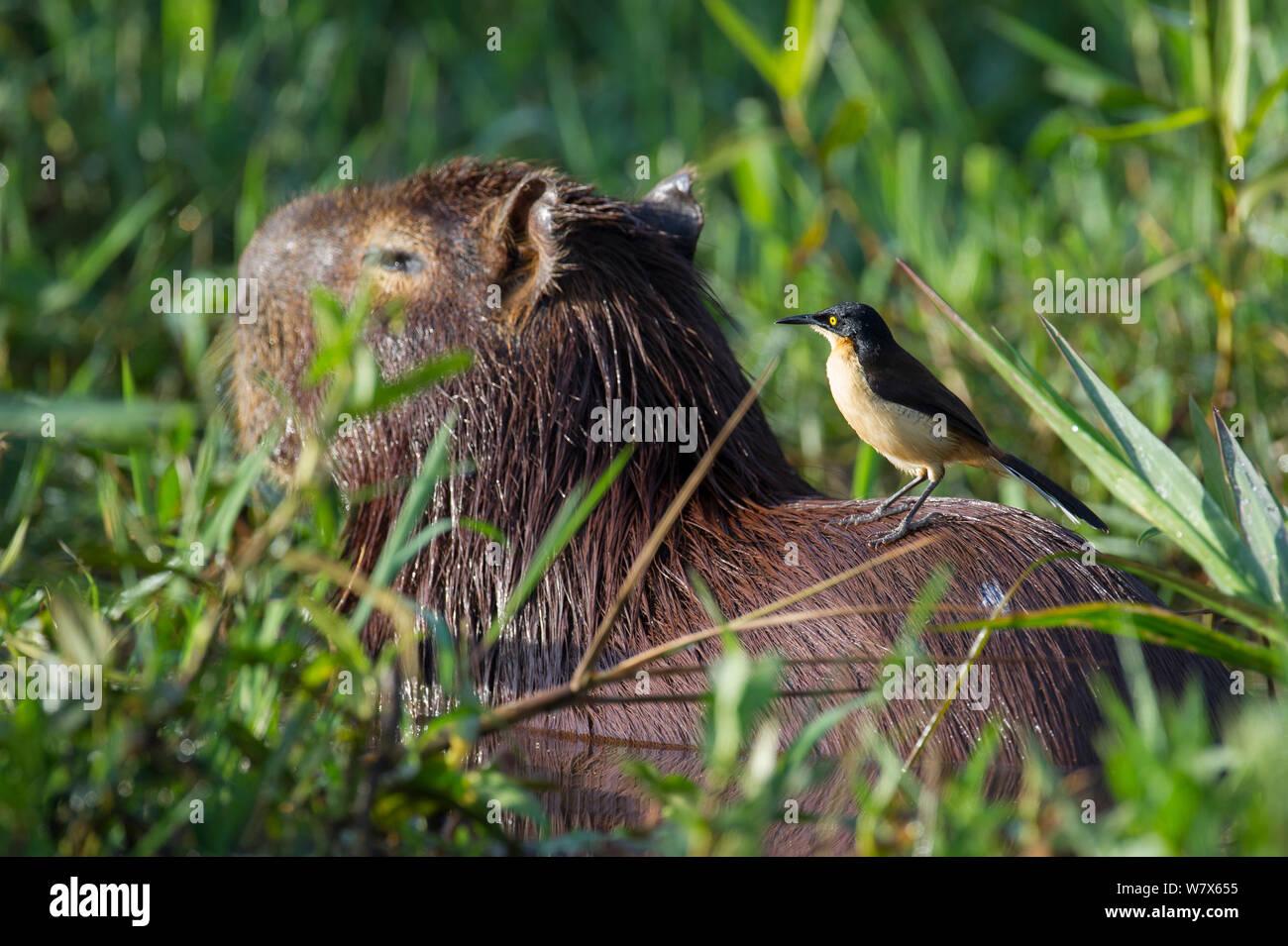 Black-capped Donacobius (Donacobius atricapilla) perched on back of Capybara (Hydrochoerus hydrochaeris)  Capybara, Mato Grosso, Pantanal, Brazil.  July. Stock Photo