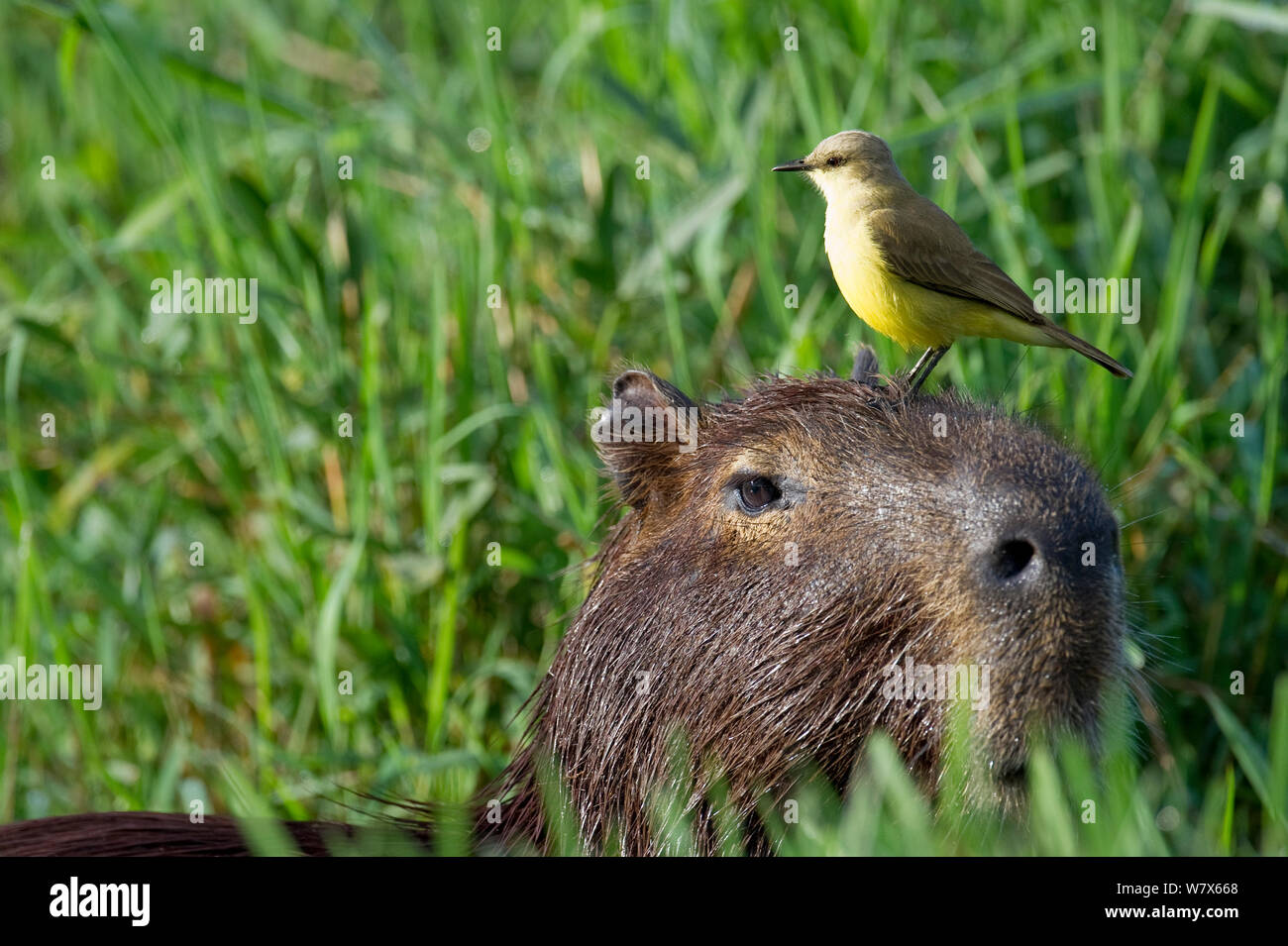 Cattle Tyrant (Machetornis rixosa) perched  Capybara (Hydrochoerus hydrochaeris), Mato Grosso, Pantanal, Brazil.  July. Stock Photo