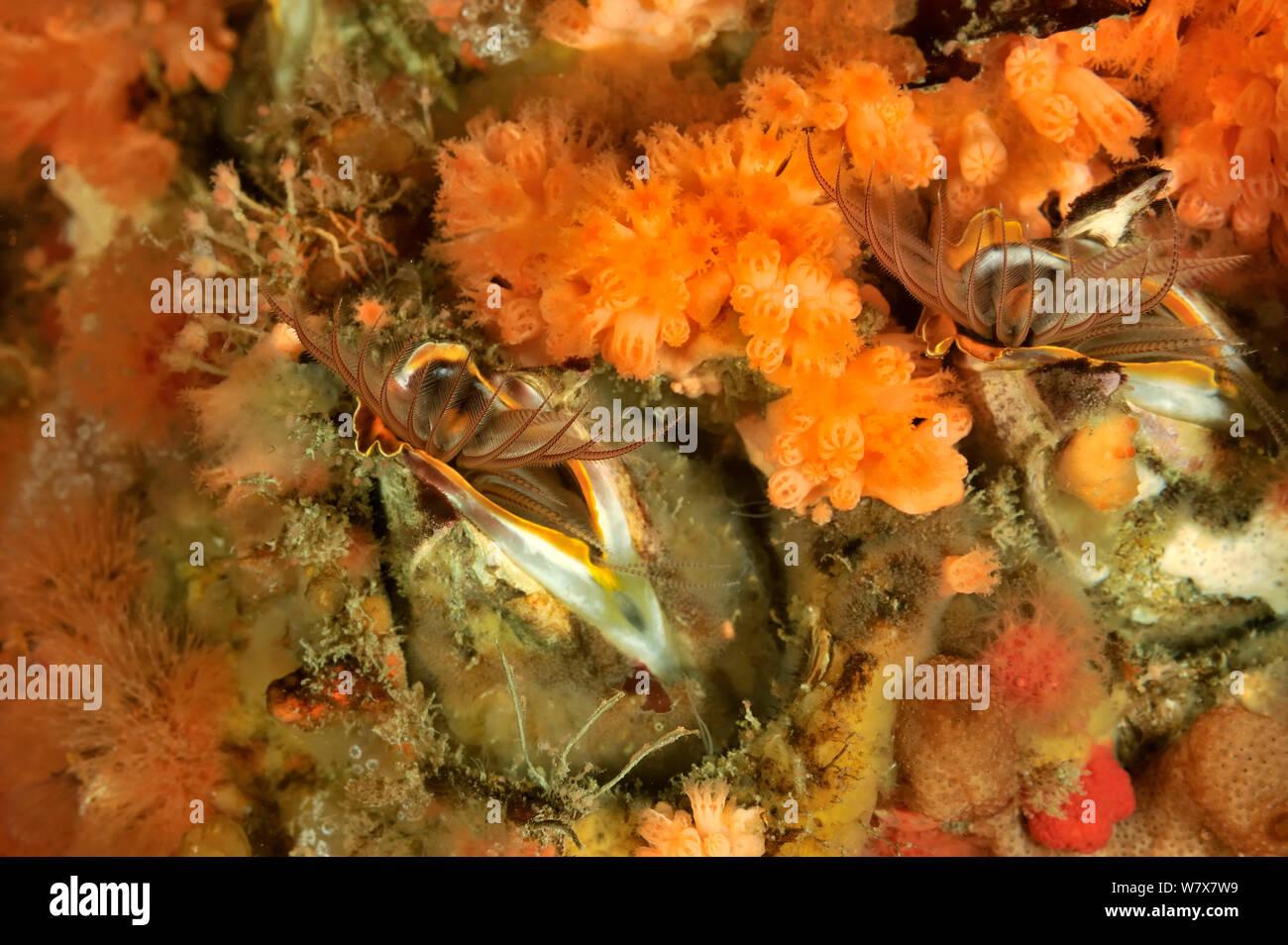 Giant barnacles (Balanus nubilus), Alaska, USA, Gulf of Alaska. Pacific ocean. Stock Photo