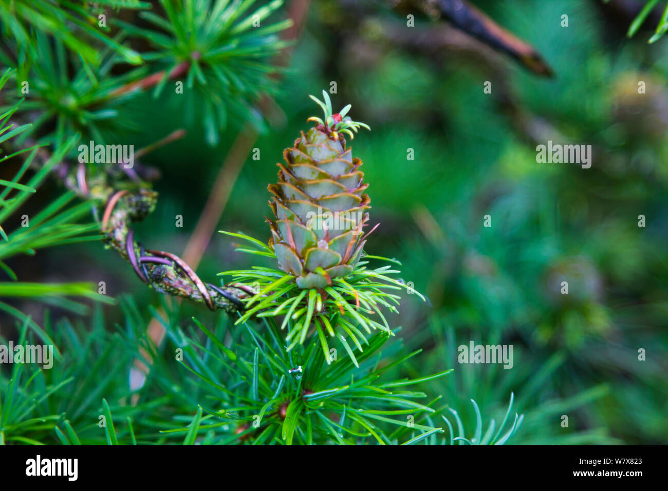 Larch Pine Cone High Resolution Stock Photography And Images Alamy