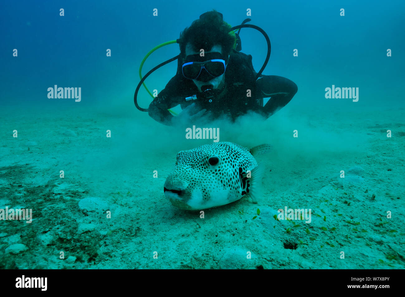 Diver with Giant pufferfish (Arothron stellatus) Mayotte. Indian Ocean. February 2010. Stock Photo