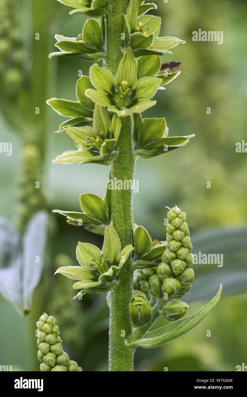 False helleborine / white hellebore (Veratrum album) in flower, Belgium, April. Stock Photo
