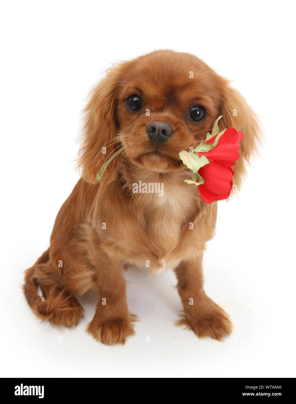 Ruby Cavalier King Charles Spaniel Pup Flame Age 12 Weeks Hing A Red Rose Stock Photo Alamy
