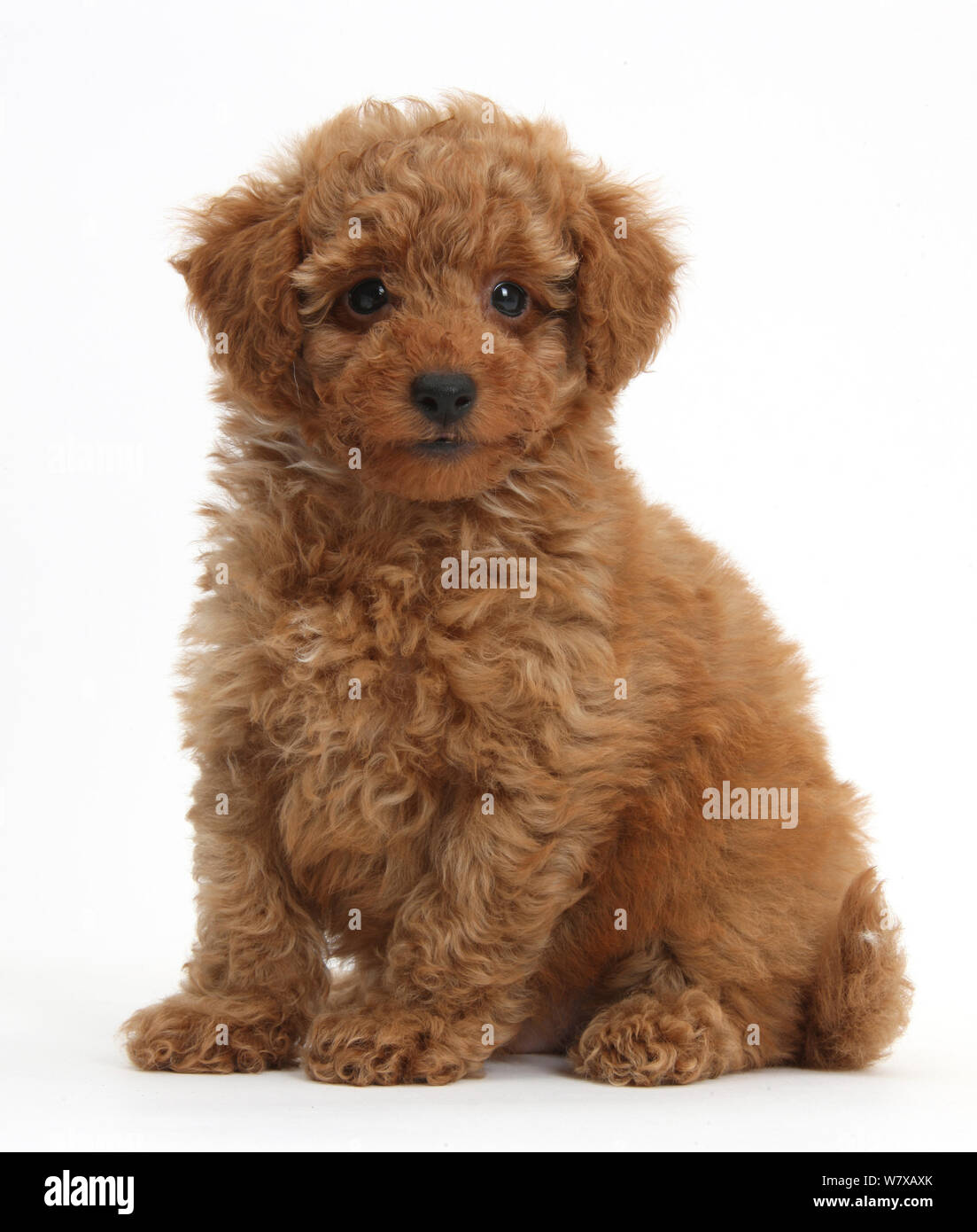 Cute Red Toy Poodle Puppy Sitting Stock Photo Alamy