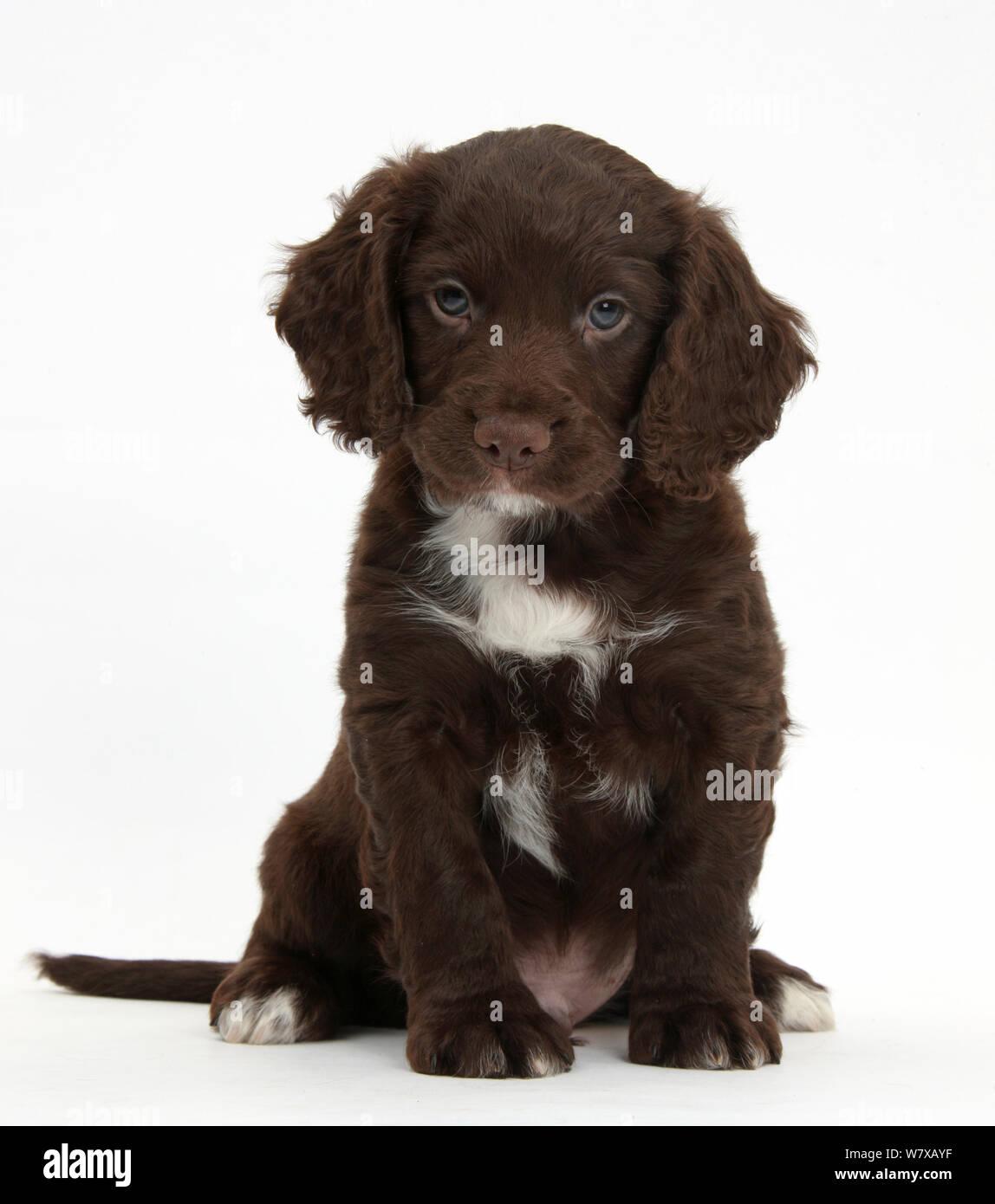 Chocolate Cocker Spaniel Puppy Sitting Stock Photo Alamy