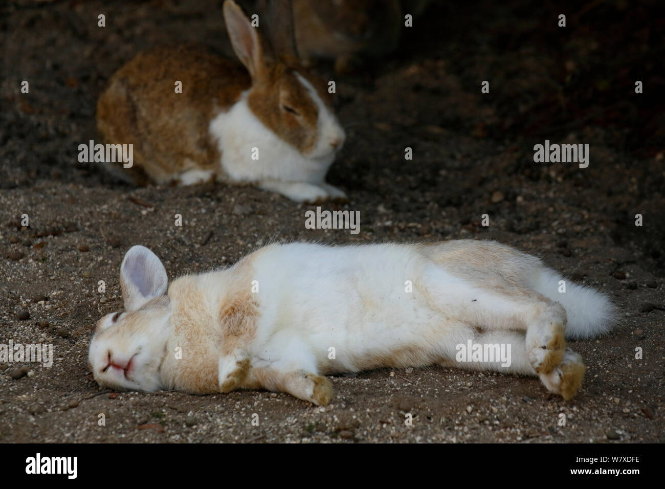 Feral domestic rabbit Oryctolagus cuniculus lying on its side ...