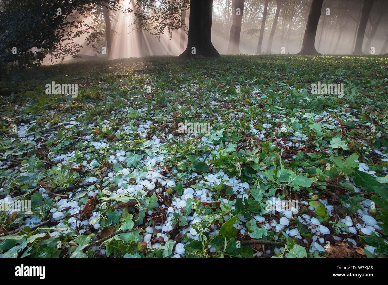 Rays of sunlight through mixed Beech (Fagus sp) / Oak (Quercus sp) forest after heavy downpour of hail, Peerdsbos, Brasschaat, Belgium, June 2014. Stock Photo