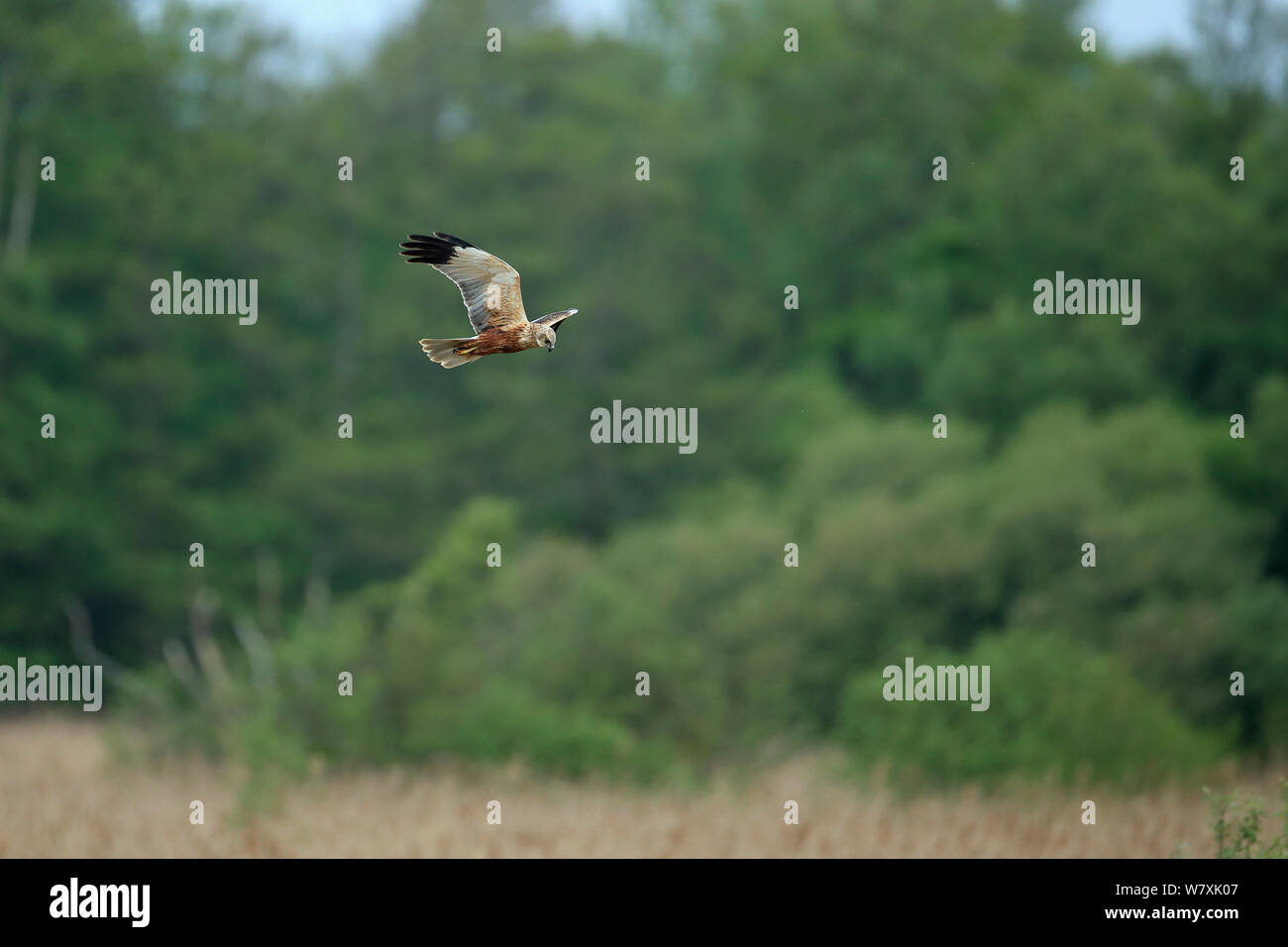 Marsh harrier (Circus aeruginosus) in flight, hunting. Suffolk, UK, April. Stock Photo