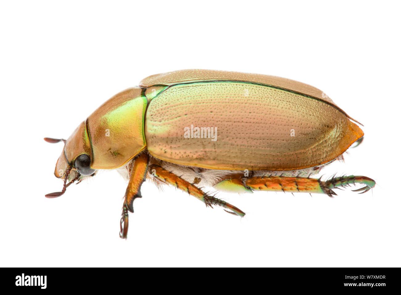 Australian Christmas Beetle.Christmas Beetle Australia Stock Photos Christmas Beetle
