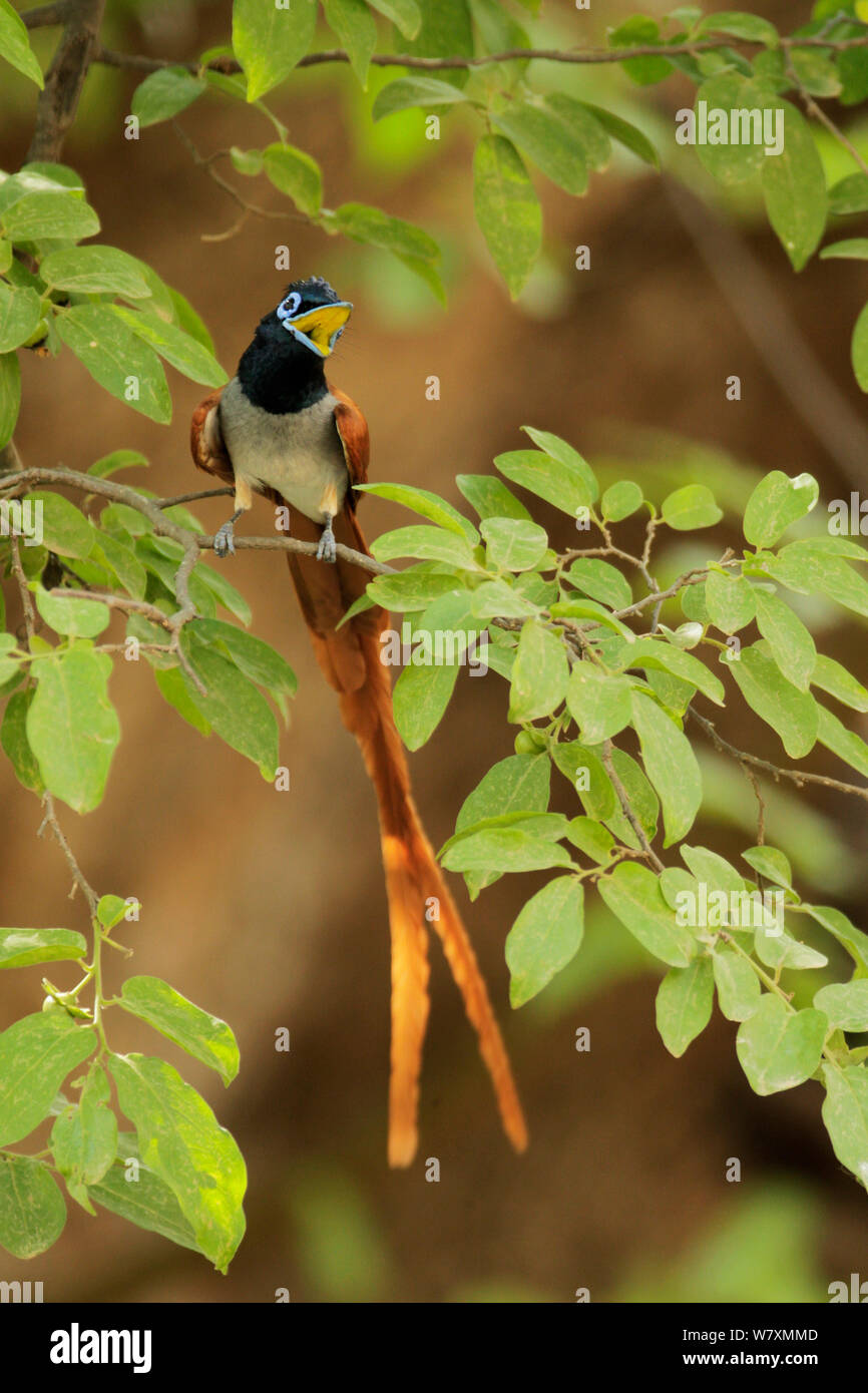 Asian paradise-flycatcher (Terpsiphone paradisi) calling from branch. Ranthambore National Park, India. Stock Photo