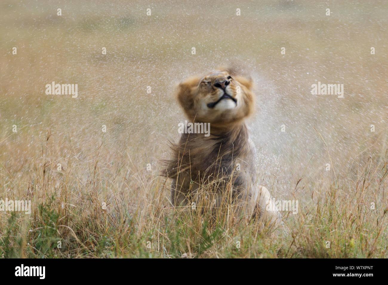 Lion (Panthera leo) male shaking water off after rain, Masai-Mara game reserve, Kenya. Stock Photo