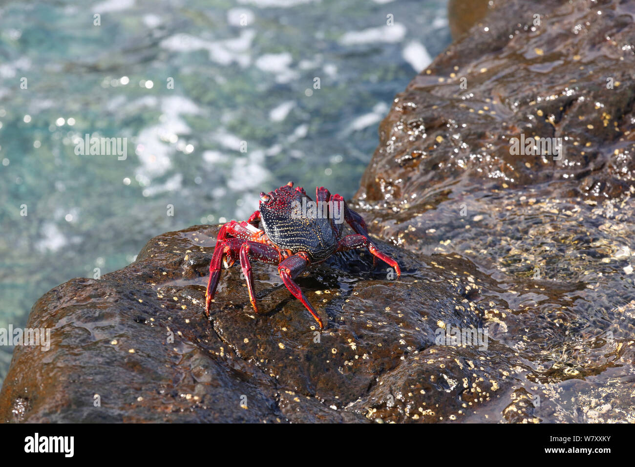 Red rock crab (Grapsus adscensionis) on rock, La Palma, Canary Islands. Stock Photo