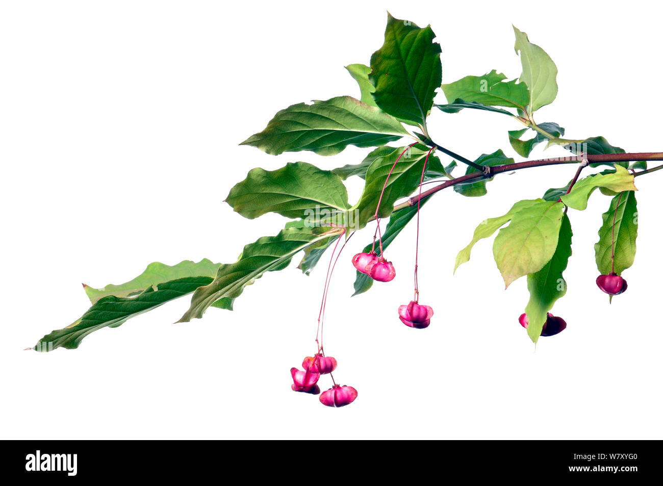 Large-leaved Spindle (Euonymus latifolius) with seeds, Slovenia, Europe, August. meetyourneighbours.net project Stock Photo