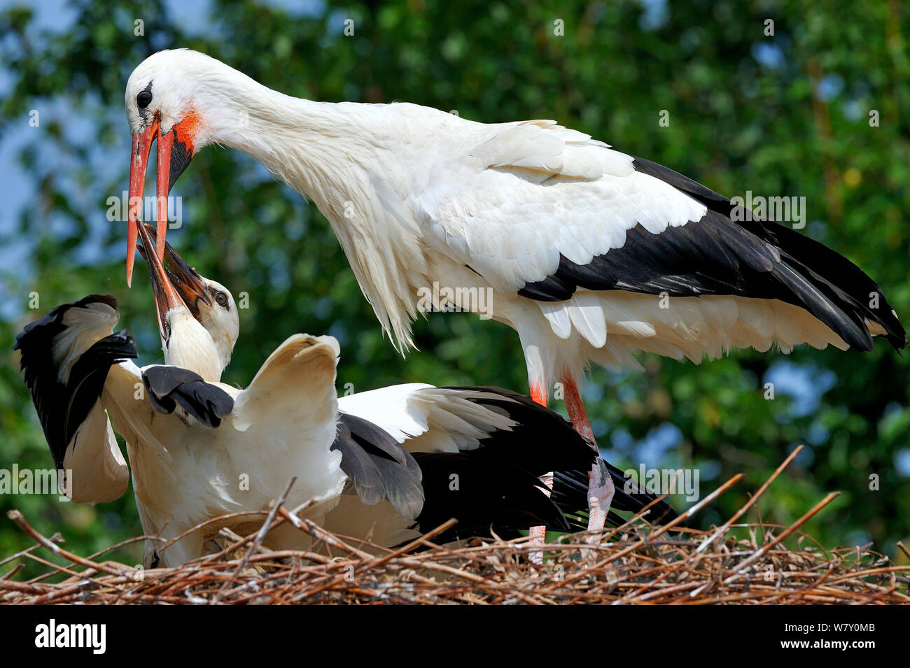 White stork (Ciconia ciconia) regurgitating food to chicks in nest,  Alsace, France. July. Stock Photo