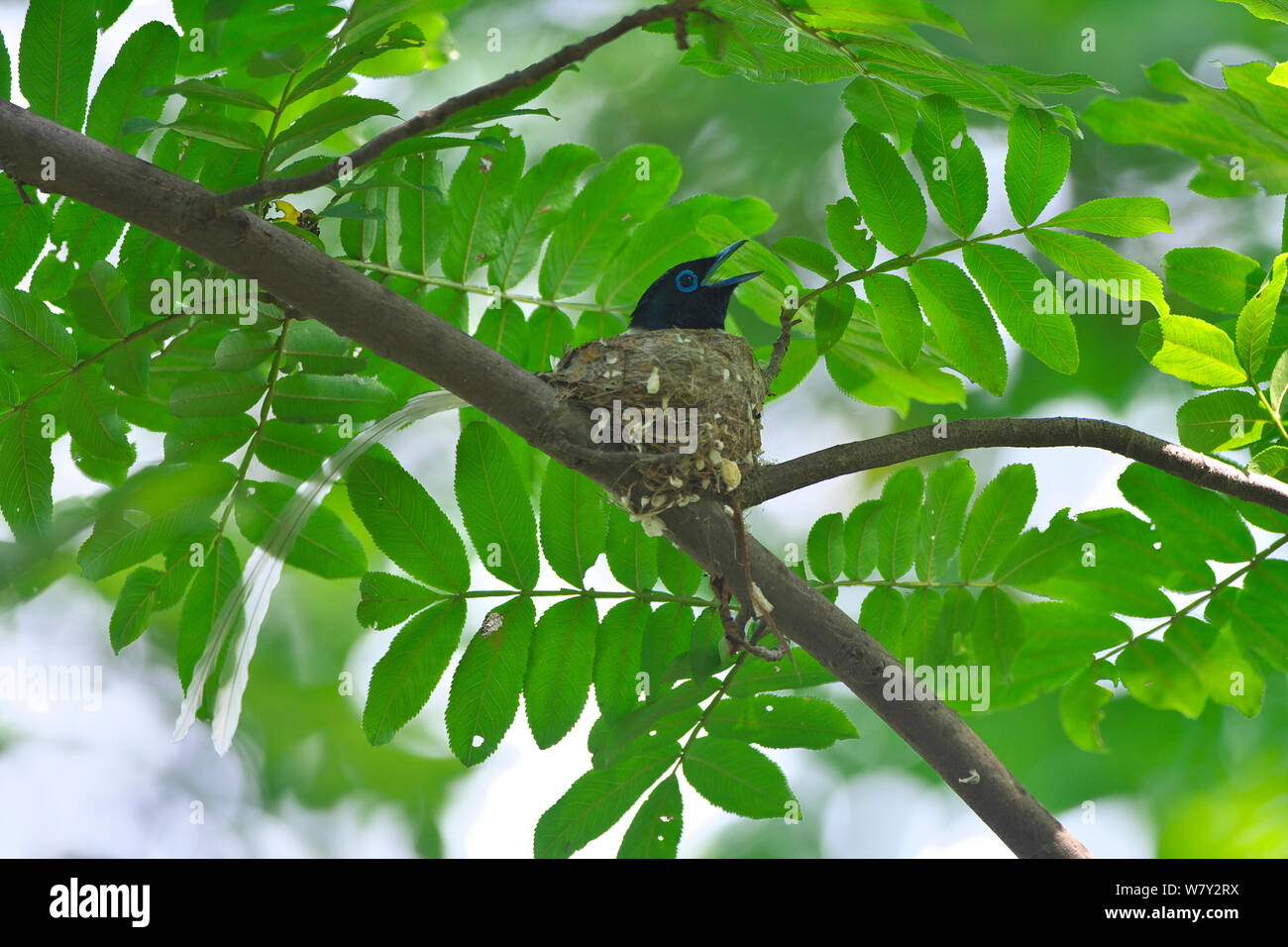 Asian paradise-flycatcher (Terpsiphone paradisi) perched, Shanyang town, Gutian County, Hubei province, China. Stock Photo
