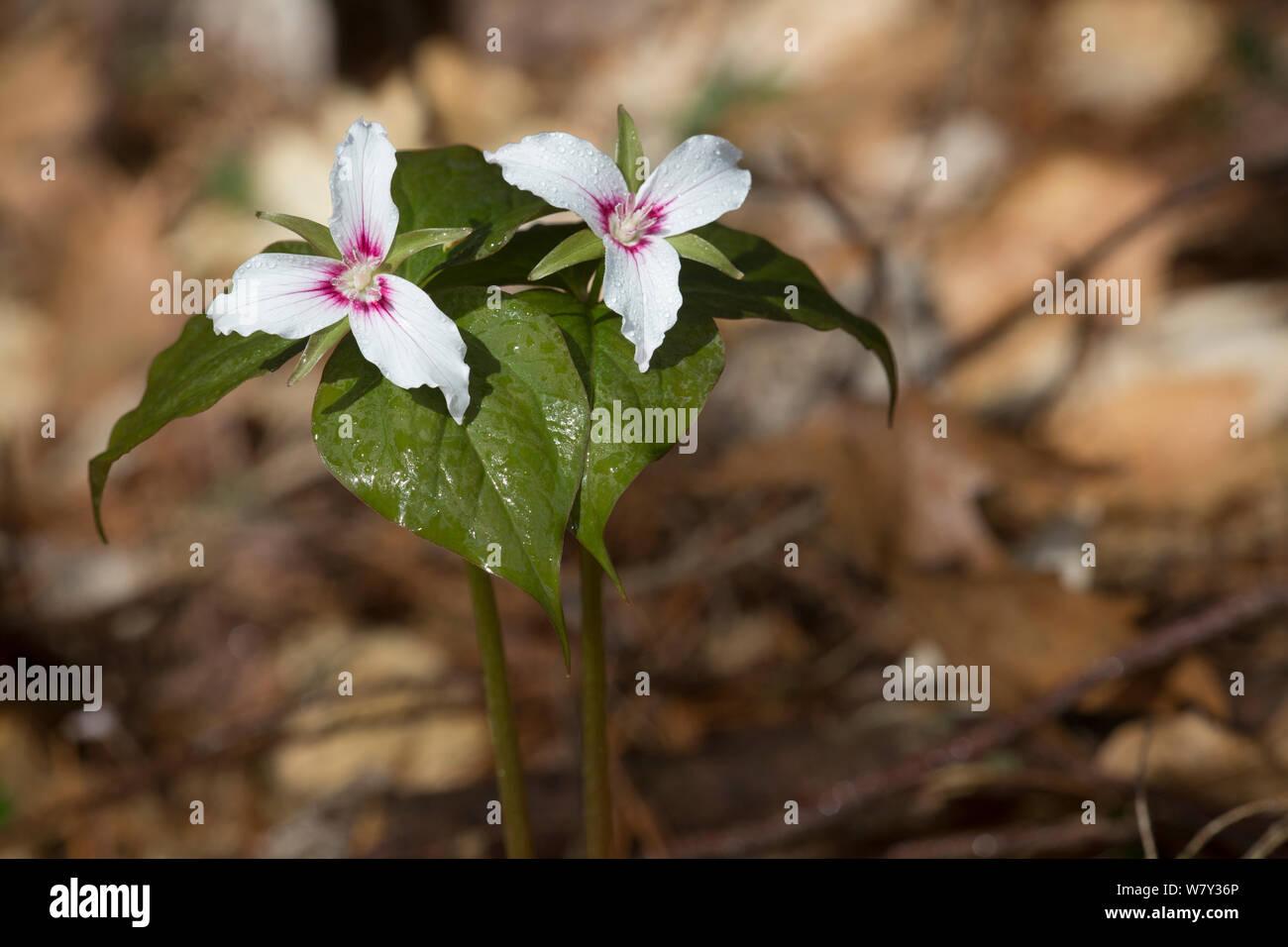 Painted trillium (Trillium undulatum) flower, Pleasant Valley, Connecticut, USA Stock Photo