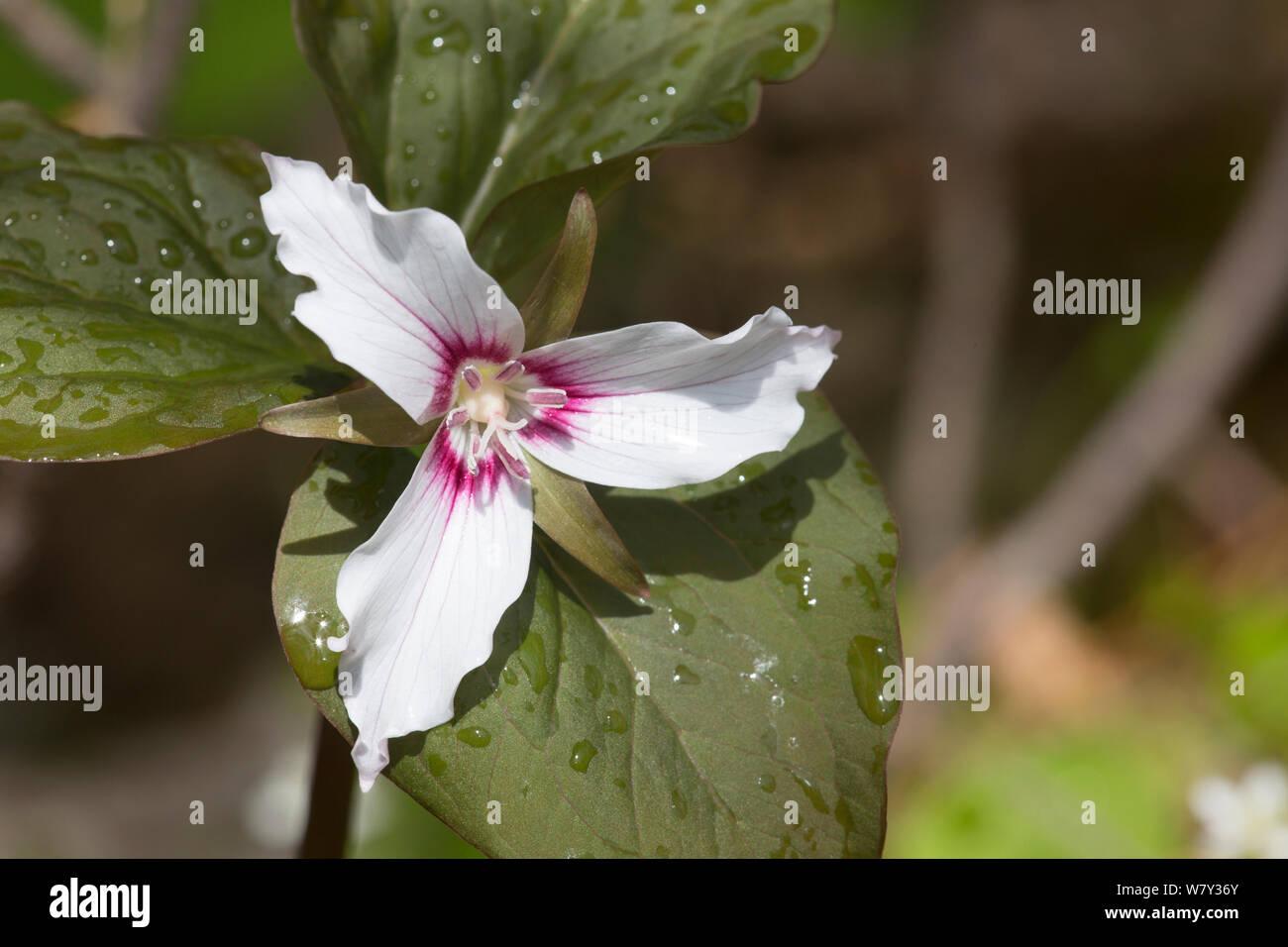 Painted trillium (Trillium undulatum) flower,, Pleasant Valley, Connecticut, USA Stock Photo