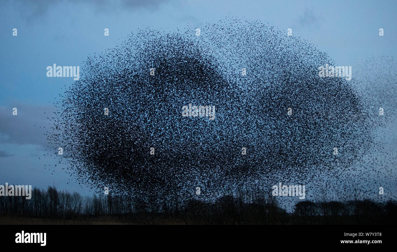 Starling (Sturnus vulgaris) murmuration on winter evening, Derbyshire, England, UK, February. Stock Photo