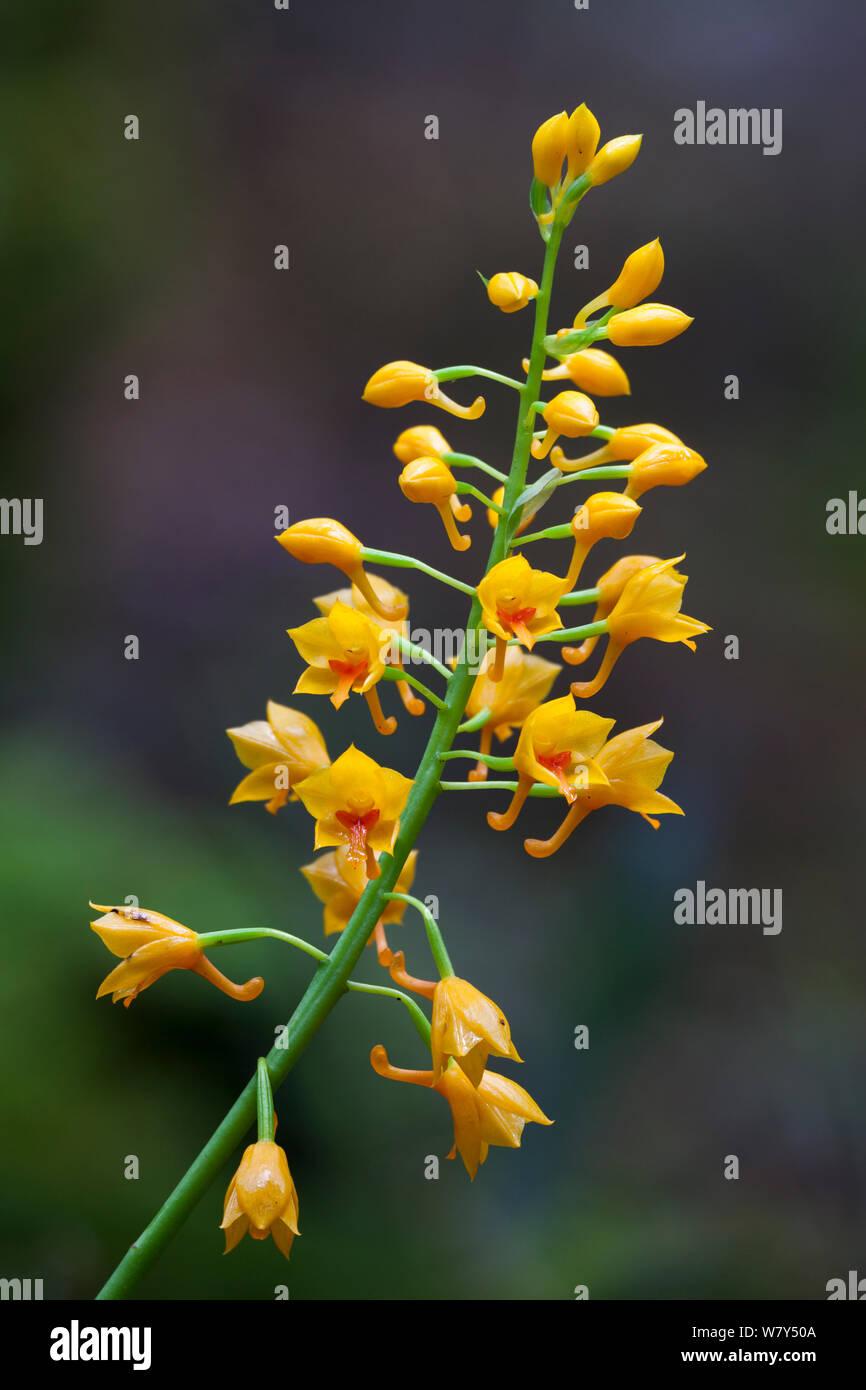 Yellow terrestrial orchid (Orchidaceae) Maliau Basin, Sabah, Borneo. Stock Photo