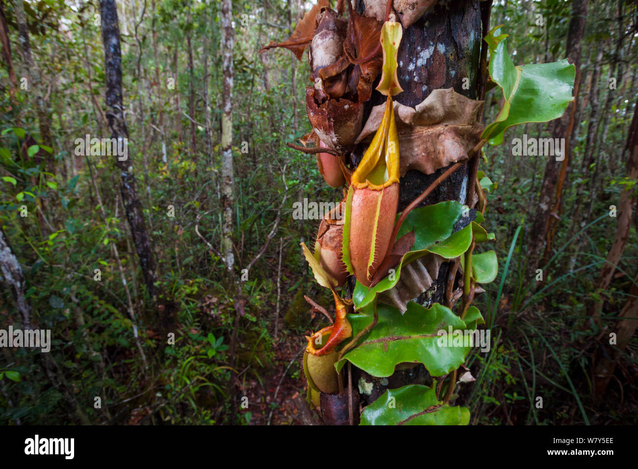 Large aerial pitchers of Veitch's pitcher plant (Nepenthes veitchii) growing up a tree trunk. Maliau Basin, Borneo. Stock Photo